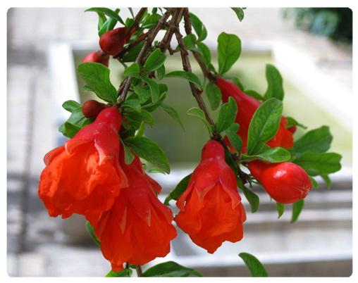 عکس ارسالی کاربران سایت رسمی مجید اخشابی گل انار میوه قرمز website www.majidakhshabi.com Pomegranate ، flower ، Fruit ، red ، majid ، akhshabi ، official