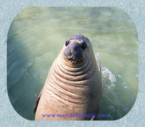 عکس جالب جاذبه ها هنر دستان پروردگار شگفتی ها حیوانات پستانداران اقیانوس آرام اقیانوس اطلس سرعت چهل کیلومتر سایت رسمی مجيد اخشابی Photo Fun Attractions Art of the Lord's hands Wonders Animals Mammals Pacific Ocean Atlas Ocean Speed of forty miles per hour Official Web MAJID Akhshabi