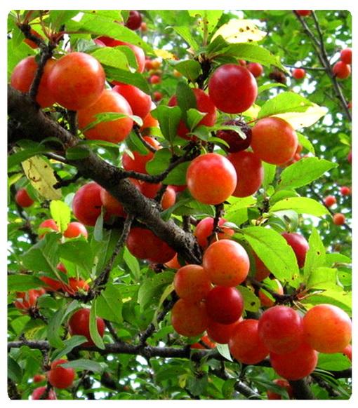 عکس ،ارسالی ، کاربران ، سایت ، رسمی ، مجید ، اخشابی ، طبیعت ، میوه ، آلوچه ، ترش ، شیرین ،درخت ،user ،submissions ، photo ، www.majidakhshabi.com ، majid ، akhshabi ، official nature ، fruit ، Sour ، Plum ، website ، sweet ، tree