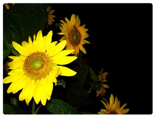 عکس ،ارسالی ، کاربران ، سایت ، رسمی ، مجید ، اخشابی ، گل آفتاب گردان ، ساریsari ، sunflower ، user ،submissions ، photo ، www.majidakhshabi.com ، majid ، akhshabi ، official ،natur، website