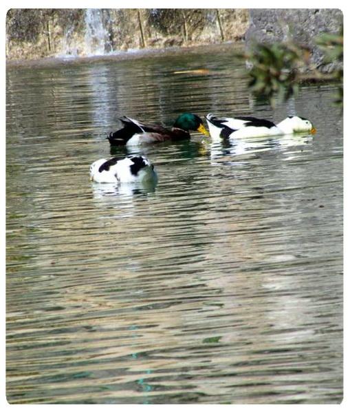 عکس ارسالی کاربران: اردک ها در جستجوی غذا