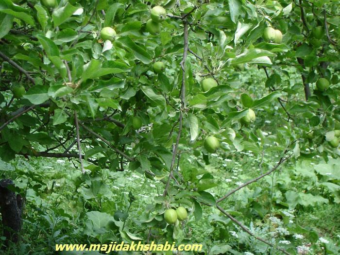 عکس ارسالي کاربران: درخت سیب
