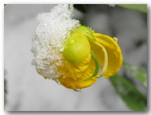 گل زرد برف زمستان رویای برفی