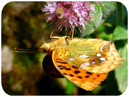 عکس ،ارسالی، کاربران، سایت رسمی مجید اخشابی،پروانه ،گل صورتی، ،Butterfly ،flower ،www.majidakhshabi.com majid akhshabi official website ،