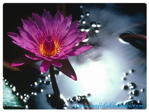 عکس های دیدنی از گلها