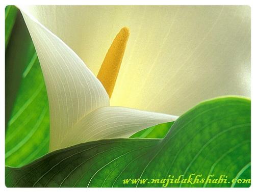 عکس جالب جاذبه ها معرفي ديدني ها طبيعت زیبا هنر دستان پروردگار گلها Photo Fun Beautiful nature Introducing ViewsArt of the Lord's hands FlowersOfficial Web MAJID Akhshabi
