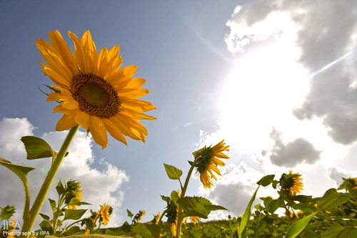 مزارع آفتابگردان