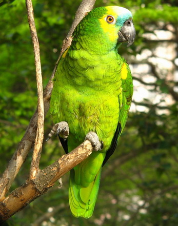 طوطی آمازون ( کاسکوی سبز )
